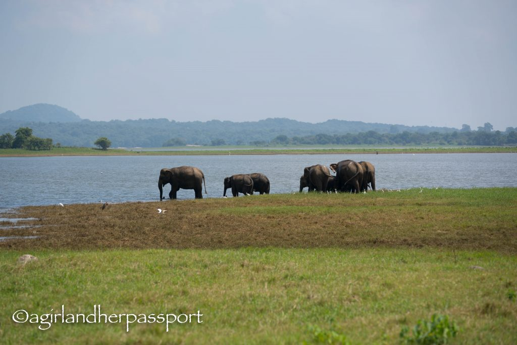 Elephants Minneriya National Park