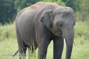 Elephants Minneriya National Park
